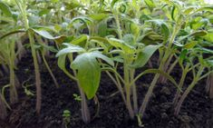 Veggies, Plants, Garden Ideas, Red Peppers, Vegetable Recipes, Vegetables, Plant, Landscaping Ideas, Backyard Ideas