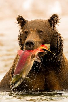 Grizzly Bear in Alaska, Proud of His Catch! (Photo of Grizzly Bear in Alaska By: Lionel Maye, which he titled: 'Success. Nature Animals, Animals And Pets, Cute Animals, Wildlife Nature, Wild Animals, Baby Animals, Wildlife Photography, Animal Photography, Action Photography