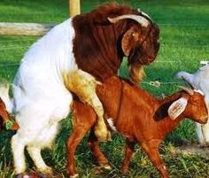 Women mating with goat porn video