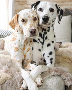 Cute Dogs And Puppies, I Love Dogs, Doggies, Beautiful Dogs, Animals Beautiful, Beautiful Couple, Dalmatian Dogs, Puppy Husky, Dog Breeds