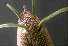 Fruit fly egg - the green horns are breathing apparatus to help the larva inside breathe