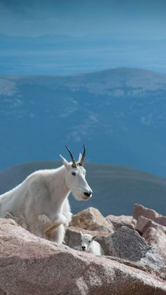 Mountain goats - mother and baby climbing Mt. Evans at 14,000 feet high in Colorado. Photography by Mary Eikenberry.