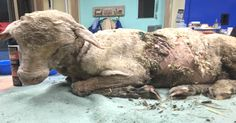 """They Found Her Lying """"Lifeless"""" In A Paddock…But Her Will To Survive Was Un-baa-lievable!"""