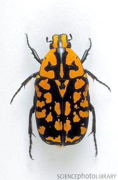 Euchroea vadoni