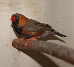 Zebra Finch, Most Beautiful Birds, Finches, Sparrows, Bird Species, Zebras, Bird Feathers, Planters, Fancy