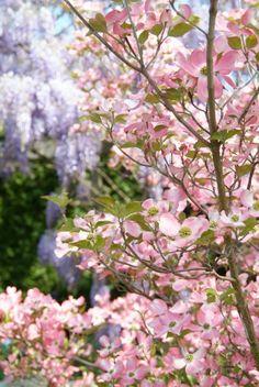 Cornus florida f. rubra (Amerikaanse kornoelje of Veelbloemige kornoelje)   Tuinen van Appeltern