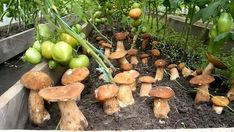 How to grow a lot of ceps in your area (result) Growing Mushrooms At Home, Garden Mushrooms, Veg Garden, Edible Garden, Vegetable Gardening, Outdoor Plants, Outdoor Gardens, Tomato Planter, Mushroom Cultivation