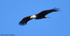 Louie flew by to check on his nestlings, circled about for a bit, caught a thermal and was gone out of sight.