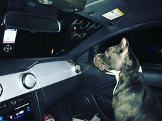 Some late night tuning and testing with my best helper #mansbestfriend #pitbull #mechanic #mustang