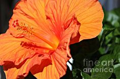 Orange Delight by Clare Bevan  #hibiscus #hibicuscarrera #clarebevan