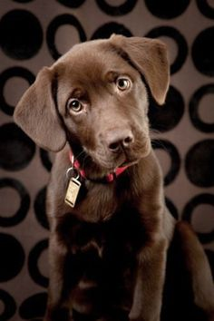 Image: Adorable Chocolate Lab Puppy Looking Curiously at Camera (© Jani Bryson/Vetta/Getty Images)