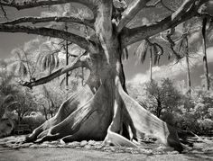 Ancient tree photography by Beth Moon, San Francisco Tree Woman, Old Trees, Tree Photography, Nature Tree, Tree Forest, Tree Of Life, Amazing Nature, Belle Photo, San Francisco