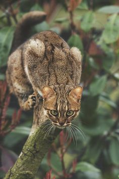 Rusty Spotted Cat by Colin Langford
