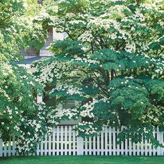 Kousa Dogwood.  This tree is typically more disease-resistant than its North American cousin the Flowering Dogwood.