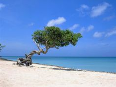 divi divi trees - Google Search