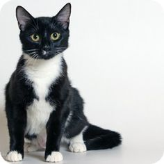 Walnut Creek, CA - Domestic Shorthair. Meet Nebula, a cat for adoption. http://www.adoptapet.com/pet/11385968-walnut-creek-california-cat