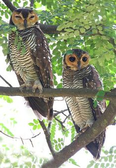 The Spotted Wood Owl (Strix seloputo) is one of the largest owl species found in Singapore. Once thought to be down to just six to ten birds in the 1990s, numbers appear to have risen somewhat.