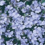 Lobelia erinus 'Light Blue Basket'. Window Box plant. Click image to add to your lists and to get care advice from Shoot.    Other names: Lobelia 'Light Blue Basket'    Genus: Lobelia    Variety or cultivar: 'Light Blue Basket' _ 'Light Blue Basket' are spreading, trailing, low-growing annuals. They have small, dark-green leaves and a dense covering of light blue flowers in summer and autumn.