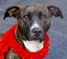 Dead  ☠ ALEXA1_A1071111..FEMALE, BROWN / BR BRINDLE, AM PIT BULL TER MIX, 1 yr, 8 mos STRAY – STRAY WAIT, NO HOLD Reason PERS PROB Intake condition UNSPECIFIE Intake Date 04/22/2016, From NY 11372, DueOut Date 04/25/2016, DEAD