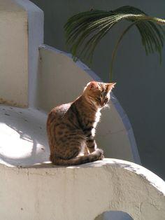 Cute kitty on the wall in Santorini.