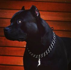 Amstaff Terrier, Pitbull Terrier, Bull Terriers, Cute Dogs Breeds, Dog Breeds, Pitbull Noir, Perro Doberman Pinscher, Big Dogs, Dogs And Puppies