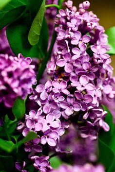 Lilac lilac 2 by LaraVilya.deviantart.com on @DeviantArt