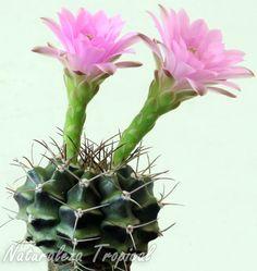 Vista del cactus Gymnocalycium anisitsii var. tucavocense florecido