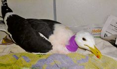 Two Black-necked gulls where brought to Tenikwa on 31 Aug 2014. They were found on Keurbooms Beach. They were attached to each other with fishing line. One had it wrapped around his wing and the other had 2 fishing hooks stuck in his throat. We had to operate to remove the hooks from his esophagus. They are both recovering well. Black Neck, Gulls, Fishing Line, Hooks, Wildlife, Wings, Bring It On, Beach, Animals