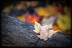 Dew Maple Log by LeeAnn McLaneGoetz McLaneGoetzStudioLLC.com Two Maple leaves rest on a log covered with dew drops, watching the colors about them change. Macomb Orchard Trail Washington Michigan #Michigan,#fall,