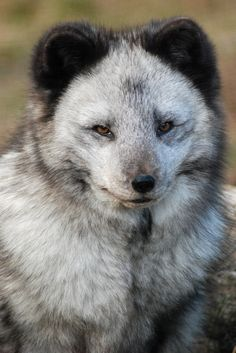 """[Arctic Fox] * * """" Whens yoo make weirdness into a puzzle to beez solved - yoo makes LOST! [Joseph Fink - Welcome to the Vale] [ """"Mosts peoples thinks of de Arctic Fox az de traditional white. Animals And Pets, Baby Animals, Cute Animals, Wild Animals, Beautiful Creatures, Animals Beautiful, Fuchs Baby, Regard Animal, Wolf Hybrid"""