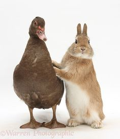 "The Chocolate Muscovy Duck Says to The Lion-Head Cross Bunny Rabbit: ""Lean on Me!"" (Photo By: © Warren Photographic warrenphotographic.co.uk )"