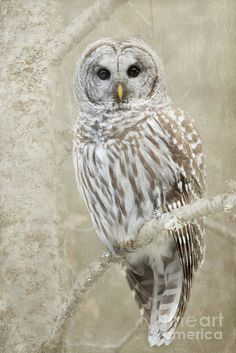 Barred Owl Print featuring the photograph Hoot Hoot Hoot by Beve Brown-Clark Photography