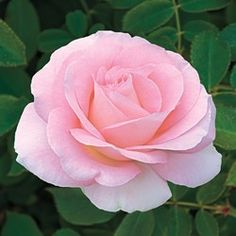Falling in Love™ Rose - strong fragrance. If I wanted bareroot roses, this would be a strong contender.