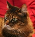 Maine Coon Adoptions - All About Maine Coons