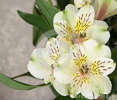 Peruvian Lilly