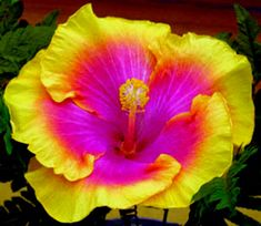 Hey, I found this really awesome Etsy listing at https://www.etsy.com/listing/182270974/hibiscus-sp-bon-temps-cajun-series Tropical Garden, Tropical Plants, Tropical Flowers, Colorful Flowers, Hibiscus Plant, Hibiscus Flowers, Hawaiian Flowers, Yellow Hibiscus, Unusual Flowers