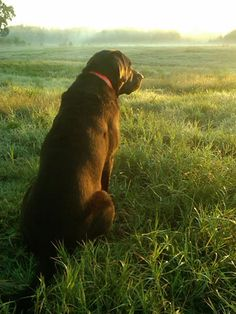 """Obtain great pointers on """"labrador retriever dogs"""". They are actually readily available for you on our website. I Love Dogs, Puppy Love, Cute Dogs, Golden Retrievers, My Champion, Cockerspaniel, Tier Fotos, My Animal, Animal Care"""