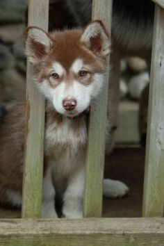 Alaskan Malamute Puppy Dogs
