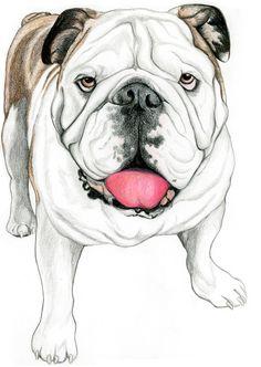 English bulldogs grow in popularity