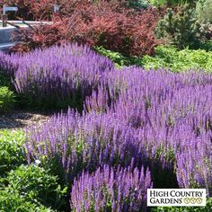 May Night is an outstanding perennial with excellent cold hardiness, vigor and tolerance to heavy clay soils. Blooming in late spring with a profussion of deep purple flower spikes, it reblooms later in the summer when deadheaded. Drought resistant/drought tolerant plant (xeric).