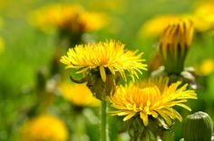 Put all biases aside on humble dandelions. It's not just a weed marring your lawn. It's a nutrient rich edible you should try in your next salad.