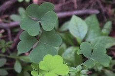 Survival Skills: How to Use Wood Sorrel for Food, and Hangovers | Outdoor Life