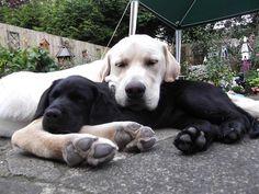 Black and Yellow Labrador Retrievers sleeping - so cute!