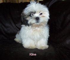 My shitzu Kline