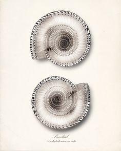 Vintage Sea shell print by http://www.etsy.com/shop/vintagebytheshore
