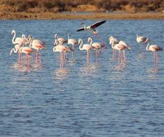Flamingos na Ria Formosa Ria Formosa, Portugal to learn more about Portugal visit the Enjoy Portugal website: www.enjoyportugal.eu