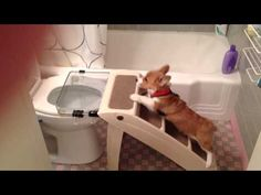 NO WAY! Potty Trained Corgi Pup Uses The Toilet Like a Boss!
