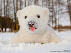 world's cutest polar bear!