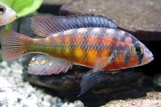 lake victoria cichlids - Google Search
