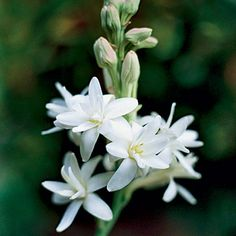 Tuberose  (Polianthes tuberosa)   This perennial has a fountain of grassy leaves and glistening white tubular flowers. Zones 7-9, 14-24, H1, H2.